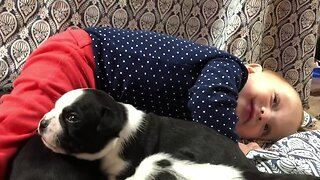 Baby plays with littler of newborn Boston Terriers
