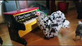 Kyllingen rocker på piano!