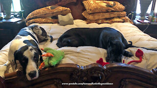 Happy Great Danes Love To Play With Their Toys In Bed