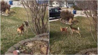 Cagnolina instancabile e cucciolo di cervo si divertono insieme