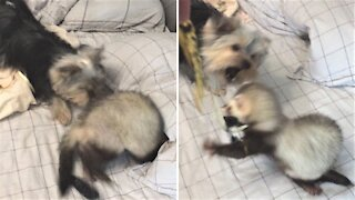 Yorkie and ferret friends wildly play with a balloon