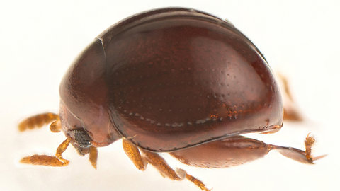 A New Pinhead-sized Beetle is Discovered in Borneo