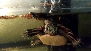 Hungry Turtle Eats A Dried Cricket