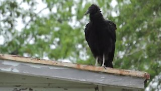 Large gathering of vultures swarm woman's car & home