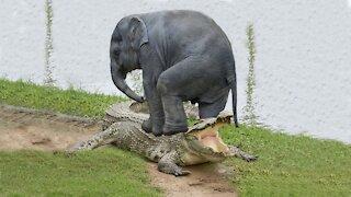 elephant saving elephant from crocodile