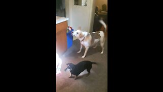 Silly dogs get new toys