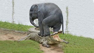 Incredible elephant saves a baby elephant from a crocodile | Animals hunt