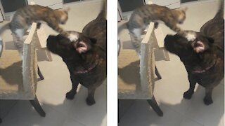 Bullmastiff plays with kitten she helped raise
