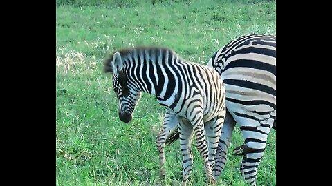 Baby zebra humorously struggles to remove bird on its ear