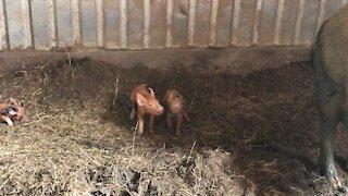 Piggy playtime