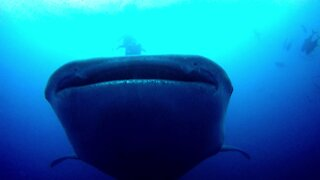 The gentle giants of the ocean: Behemoth whale sharks up close