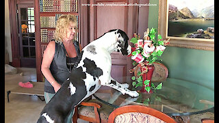 Excited Great Dane Checks Out Toilet Paper Bouquet
