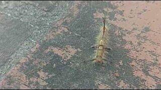 Denne skremmende larven har horn