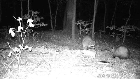 Trail Camera Footage #2