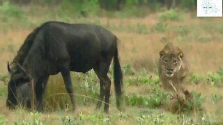 Wildebeest vs Lion Movie Real Fights Epic