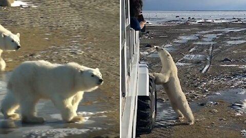 Man travels to Churchill, Manitoba to see polar bears