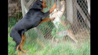 Rottweiler savage Attacks