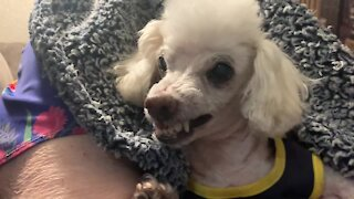 Poodle shows his teeth on command at toothbrushing time