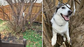Husky chases squirrel up a tree, ends up getting stuck