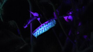 """Couple stalk vegetable garden """"monsters"""" with night vision and black light"""