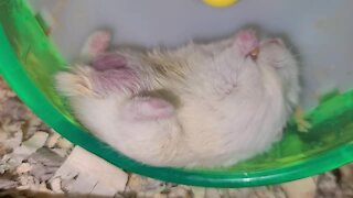 Hamster eats snack in the laziest possible way