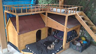 Pampered pups nap in their luxurious dog house