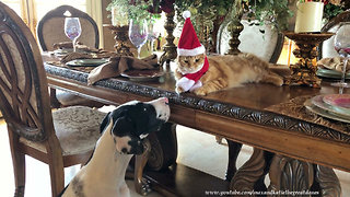 Puppy fascinated by cat's festive 'Santa Claws' hat