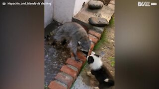 Puppy plays with raccoon while it takes a bath!