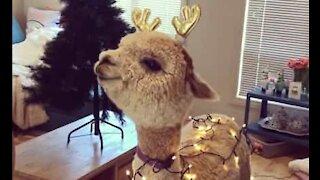 Alpaca getting into the Christmas spirit
