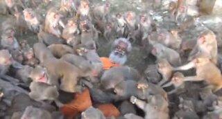 Denne 79 år gamle mannen er omringet av sultne apekatter!