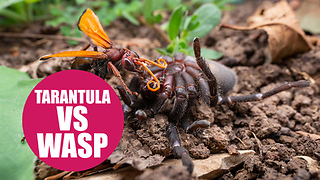 Giant wasp attacks and kills a tarantula