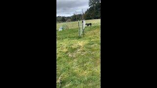 Giant Mastiff versus Electric Fence!