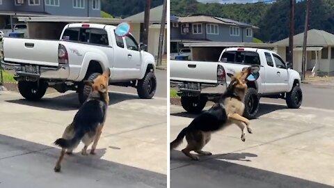 German Shepherd shows off phenomenal catching skills