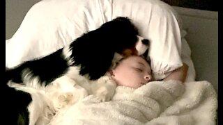 Puppy preciously falls asleep on little girl's head