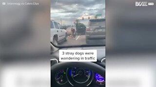 Une femme vole au secours de trois chiens sur l'autoroute