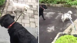 Hilarious footage of puppy walking a dog