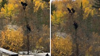 Momma bear rescues her cubs from a tree