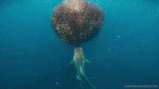 Shark attacks school of fish engulfing bait ball