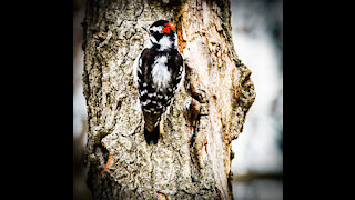 Beautiful Downy Wood Peckers at the feeders.