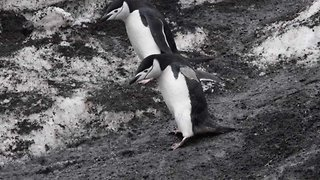Clumsy penguins have trouble walking down muddy slope with comical effects