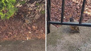 Human Rescues baby robin and reunites him with its mother!