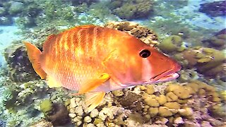 Big friendly fish takes a liking to scuba diver