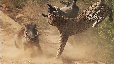 Leopard Vs Warthog: Female Warthog rescues young