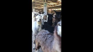 An alpaca stampede is something you don't want to miss