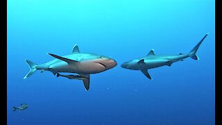 Hungry sharks closely approach scuba divers for handouts