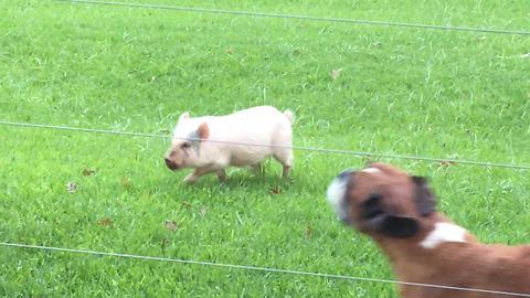 Cute little pig thinks he's a dog