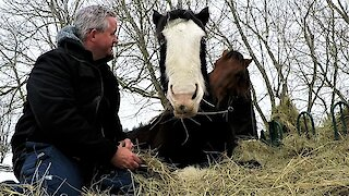 Jealous horse sneaks up and bites Clydesdale getting all the attention