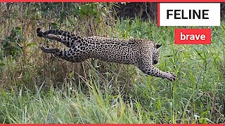 The incredible moment a jaguar and a caiman battle