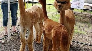 Coolest alpaca ever shows off trendy sunglasses