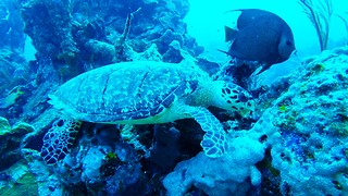 Hungry sea turtle shares meal with angelfish
